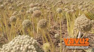 yavuz-tohum4
