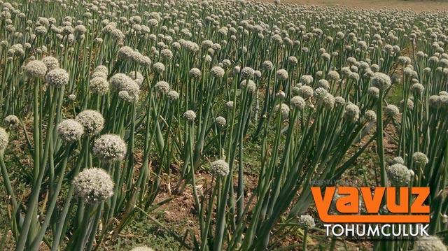 yavuz-tohum2