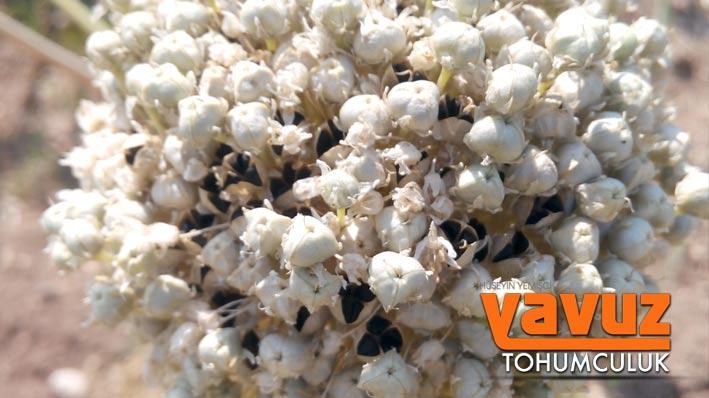 yavuz-tohum3